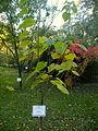 Paulownia tomentosa (7).JPG