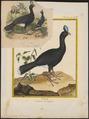 Pauxi galeata - 1700-1880 - Print - Iconographia Zoologica - Special Collections University of Amsterdam - UBA01 IZ16900085.tif