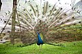 Peacock at China National GeneBank, Shenzhen.jpg