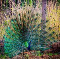 Peacock in our farm.jpg