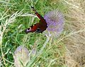 Peacock on Teasel. - Flickr - gailhampshire.jpg