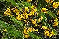 Peltophorum pterocarpum 5838.JPG