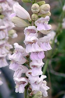 Penstemon photo credit via en.wikipedia.org/wiki/Penstemon