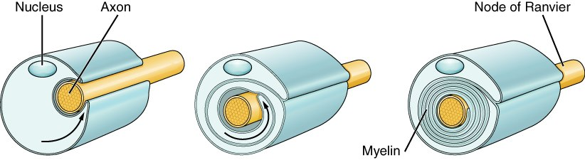Periferal nerve myelination
