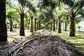 Perkebunan kelapa sawit milik rakyat (28).JPG