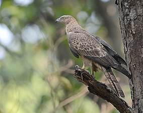 Pernis ptilorhynchus -Jim Corbett National Park, Uttarakhand, India-8.jpg