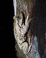 Perons Tree Frog (Litoria Peronii) (8270654683).jpg