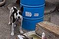 Perro en la Jolatería en Puerto Naos 01.jpg