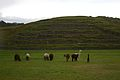 Peru - Cusco Sacred Valley & Incan Ruins 016 - Llamas grazing at Sacsaywamán (7092574401).jpg