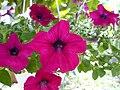 Petunia × atkinsiana (2).jpg