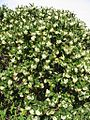 Peumus boldus (boldo), árbol macho - Flickr - Pato Novoa.jpg