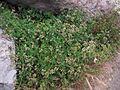 Phaceliaramosissima.jpg