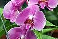 Phalaenopsis Maui Impressario x East Maui Princess 3zz.jpg
