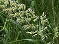 Phalaris arundinacea inflorescens, rietgras bloeiwijze.jpg