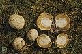 Phallus impudicus 'eggs'. Llywn On Sprucewood. Mid Glam 4.4.74 (25385584049).jpg