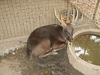 Philippine Deer - Rusa marianna - Ninoy Aquino Parks & Wildlife Center 02.jpg