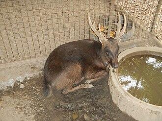 Philippine deer - Image: Philippine Deer Rusa marianna Ninoy Aquino Parks & Wildlife Center 02