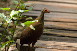 Philippine Megapode Tabon Scrubfowl Megapodius cumingii photographed in the wild on Palawan Island Philippines in 2013 by Devon Pike.jpg