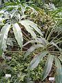 Philodendron goeldii BotGardBln07122011L.JPG