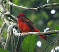Phoenicircus carnifex - Guianan red cotinga (male) 01.JPG