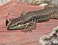 Phoenicolacerta laevis - Hatay lizard 01.jpg