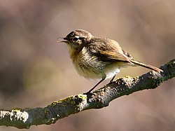 Phylloscopus canariensis -Gran Canaria, Canary Islands, Spain-8.jpg