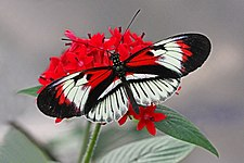 Piano Key - Heliconius melpomene, Butterfly World, Coconut Creek, Florida.jpg