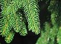 Picea abies (Norway spruce) 7 (24573571037).jpg