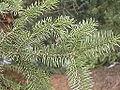 Picea asperata Brno1.jpg