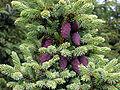 Picea mariana cones.jpg