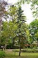 "Picea pungens ""Argentea"" - City Park in Lučenec (2).jpg"