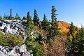 Picea rubens Bear Rock WV.jpg