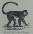 Picture Natural History - No 27 - The Entellus Monkey.png