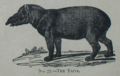 Picture Natural History - No 77 - The Tapir.png