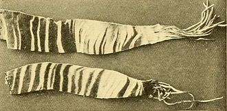 Okapi - Strips cut from the striped part of the skin of an okapi, sent home by Sir Harry Johnston, were the first evidence of the okapi's existence