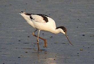 Avocet - Image: Pied Avocet Recurvirostra avosetta by Dr. Raju Kasambe DSCN3743 (8)