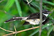 Pied Fantail, a very common resident