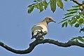 Pied Imperial-Pigeon.jpg