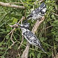 Pied kingfisher (Ceryle rudis rudis) female eating chick.jpg