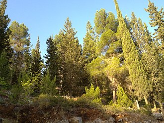 Pine–cypress forest - Pines and cypresses on the western slopes of Mount Herzl, at the circular road surrounding the Mount Herzl in Jerusalem Forest.
