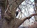 Pileated Woodpecker (198 8942).jpg