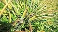 Pineapple plant Srimangal.jpg