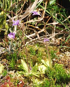 野捕蟲堇 Pinguicula vulgaris
