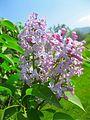 Pink Lilac Flowers.jpg