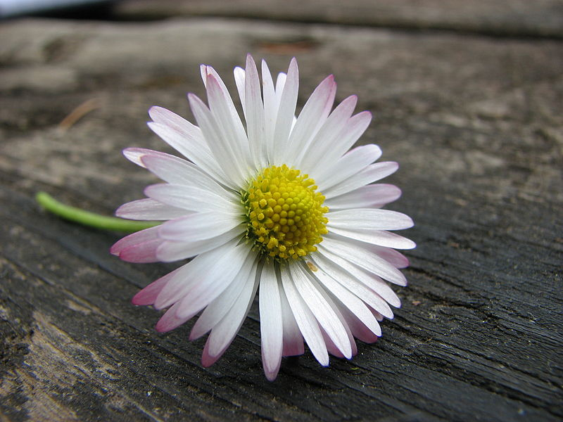 Datoteka:Pink twinged daisy on table.jpg