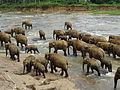 Pinnawala Elephant Orphanage 81.JPG