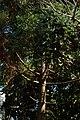 Pino brasil o Pino misionero (Araucaria angustifolia) (14408184254).jpg