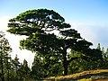 Pino de galdar - panoramio.jpg
