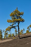 Pinus canariensis - Llano del Jable - La Palma 02.jpg
