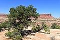 Pinus edulis kz27.jpg